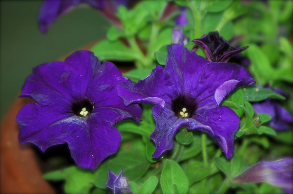 "Friday, June 1<br /> PAIR OF PETUNIAS<br /> <br /> <br /> ""Can we conceive what humanity would be if it did not know the flowers?""<br />   ~Maurice Maeterlinck"