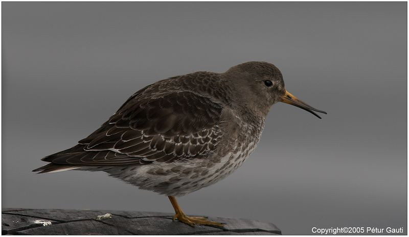 10 April. Had no idea that birds could do this. Notice how the last 1/4 of the beak is open, but not most of it. <br /> Purple Sandpiper by the Docks of Njarðvík.
