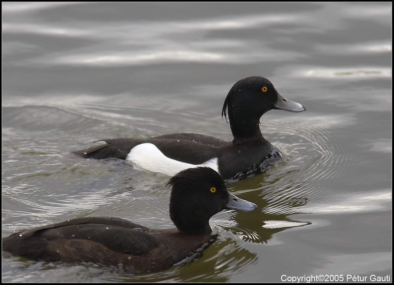 24 April. A pair of Tufted ducks. Quite beautiful ducks, the eyes are so striking