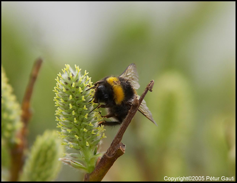 26 April. Afternoon honey gatherer. A bee by the lake Tjörnin in Reykjavík.