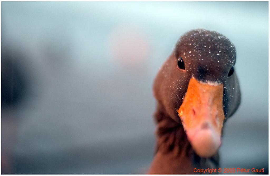 January 3rd. A Greylag Goose by the pond Tjörnin in central Reykjavík