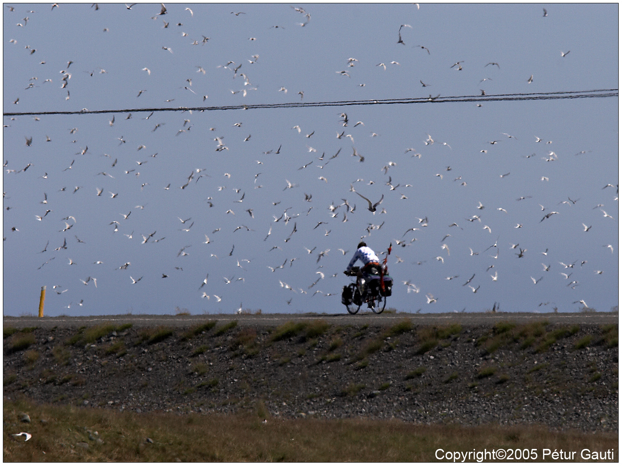 14. July. Birds - Arctic terns attacking an unfortunate cyclist.