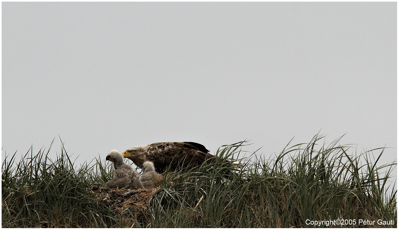 June. 23. White-tailed Eagle at nest with two eaglets. Wonderful birds