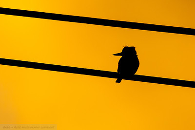 Silhouette of a Kingfisher on a wire