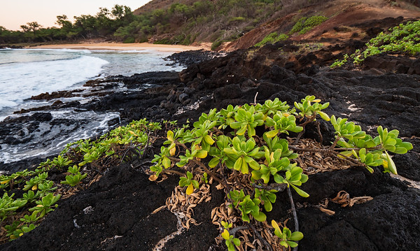 Little Makena Beach Naupaka plant