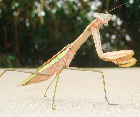 Chinese Praying Mantis