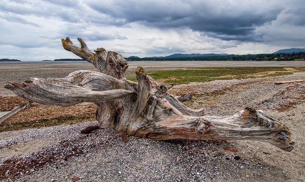 Rathtrevor Beach Stump