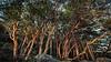 Seaside Trees