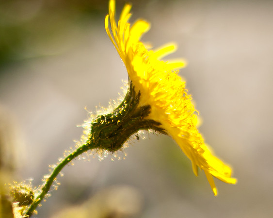 Fuzzy Flower Glow