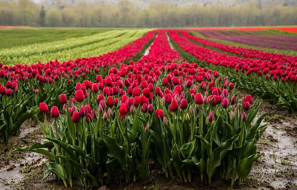 Purple Agassiz Tulips