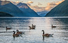 Alouette Lake Geese