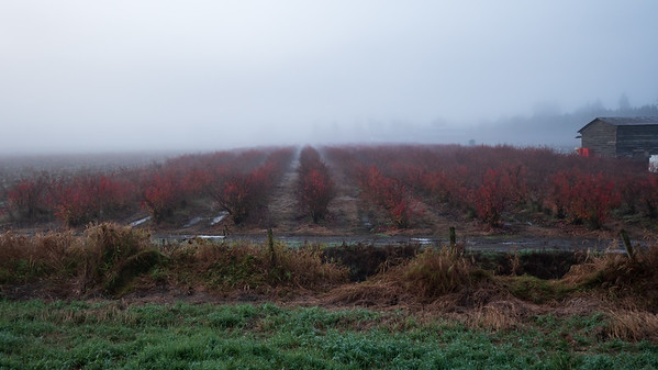 Foggy Fall Blueberries