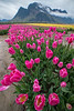 Pink Mountain Tulips