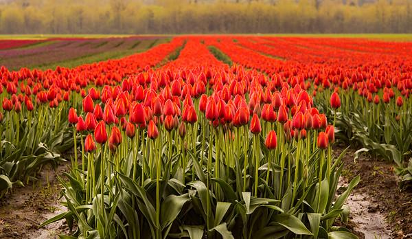 Agassiz Tulip Festival