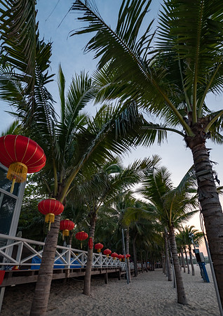 Chinese Palm Trees