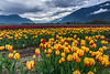 This Years Agassiz Tulip Festival