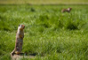 Marmot Calling Out to Other Prairie Dogs