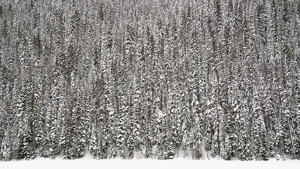 Wall of Winter Trees