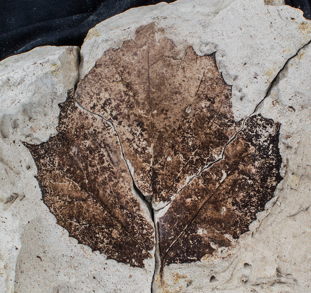 Platanus leaf fossil from the Miocene
