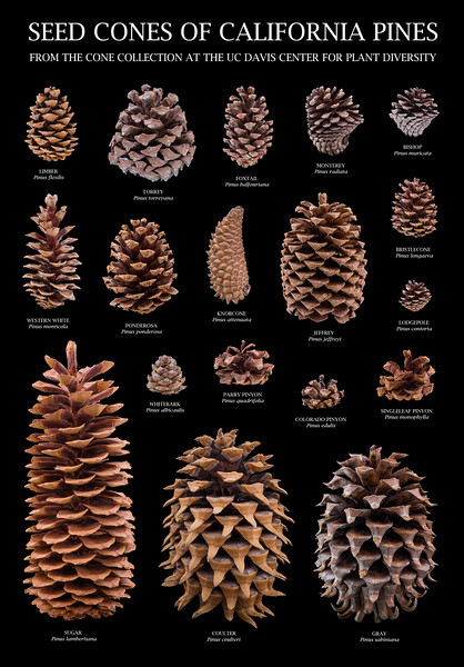Seed Cones of California Pines (an educational poster)