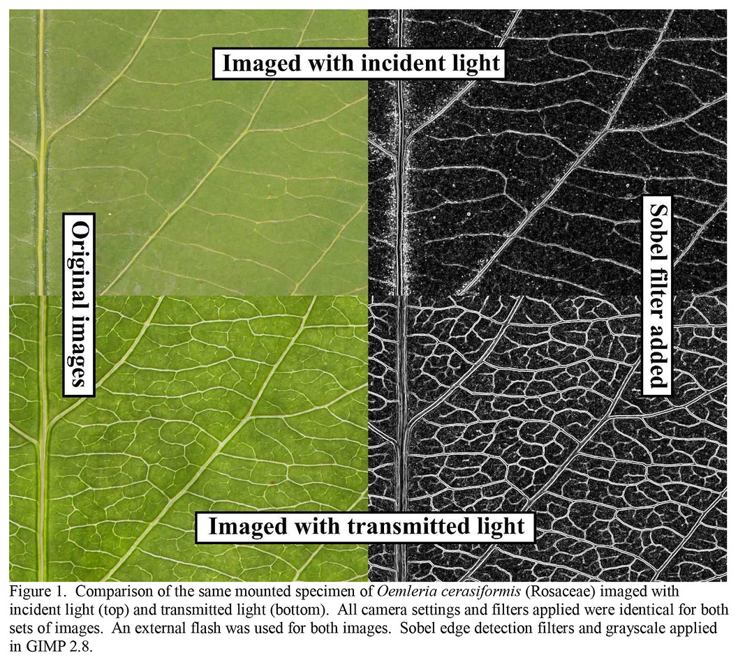 A diagram of different leaf venation photography methods for the journal Phytoneuron