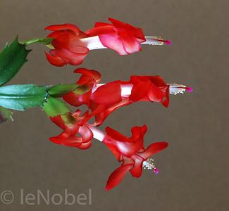 Christmas Cactus-Neil leNobel
