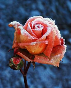 Winter Rose-Neil leNobel