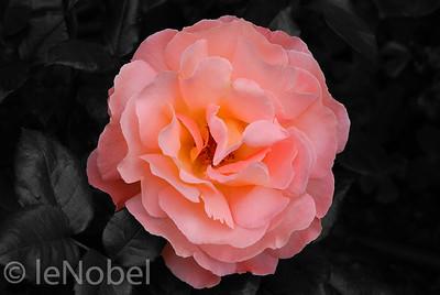 01-02-Rose Rosemary Harkness-Neil leNobel