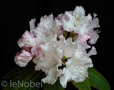 02-02-Pink on White-Neil leNobel