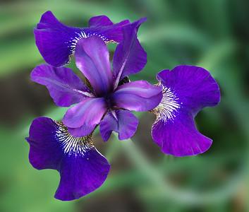 01-03-Siberian Iris-Neil leNobel