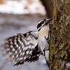 Woodpecker winging it.