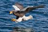 Stellar's Sea Eagle (オオワシ)