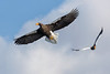 Stellars Sea Eagle (オオワシ)