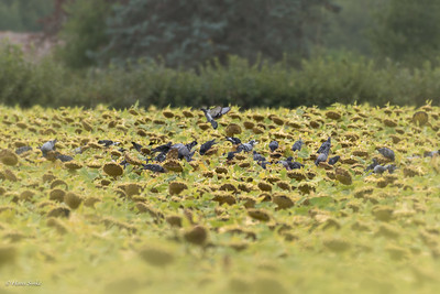 Pigeons in a field of sunflowers.