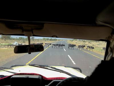 Herd of Masai cow