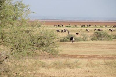 2: Buffalo, Zebra, Warthog, Wildebeest & Flamingo at Lake Manyara