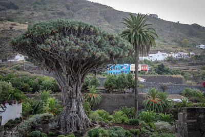 Oldest dragon tree in the world.