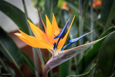 Beautiful Strelitzia reginae (Paradijsvogelbloem).