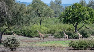 Giraffe watching the lion too