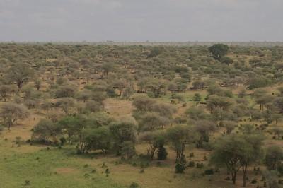 Herds of Buffalo in Tarangire NP