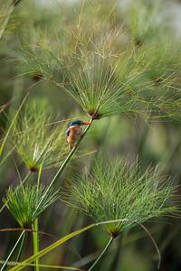 Corythornis cristatus