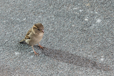 A lovely female sparrow