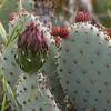 Bakersfield Cactus (Opuntia basilaris var. treleasei)