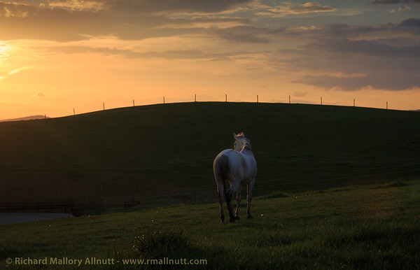 A grey mare gazing into the sunset.