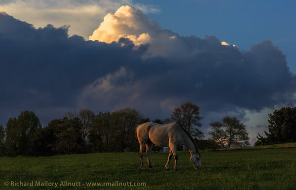 A dappled grey horse grazes in a field while a storm brews in the distance at sunset.