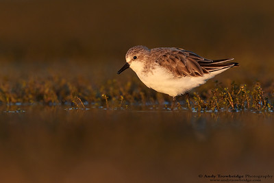 October 2017 - Red-necked Stint