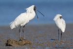 December 2017 - Royal Spoonbills