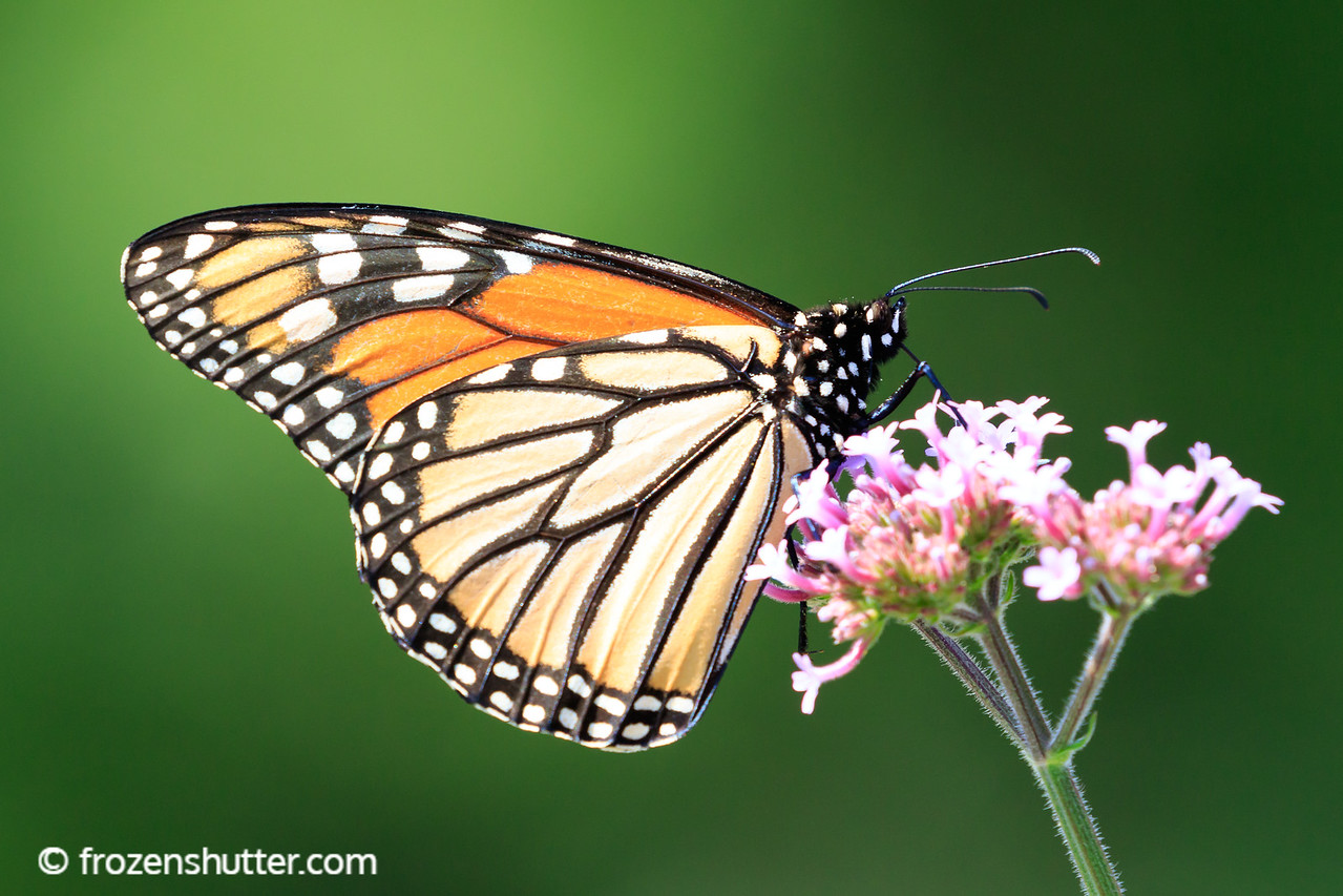 Monarch Butterfly and Bloom