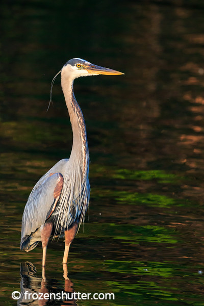 Great Blue Heron in the Shadows