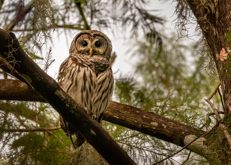 Elusive Barred Owl